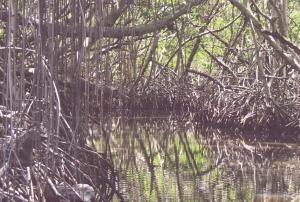manglars indonesia